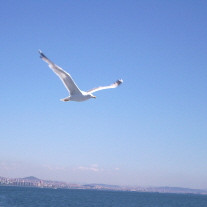 seagul-flying3